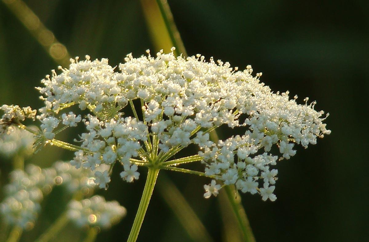 Анис цветов