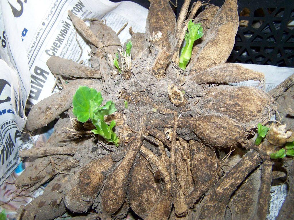 георгина проращивание