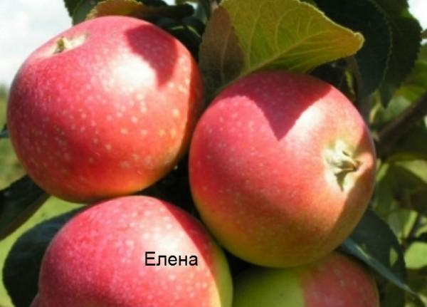 Елена. Прекрасный сорт яблок