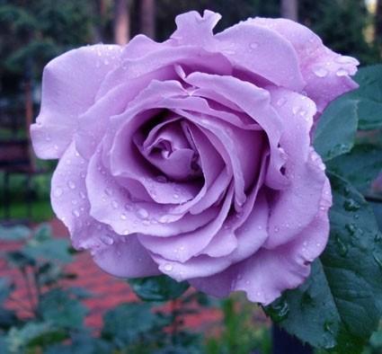 роза Blue Perfume