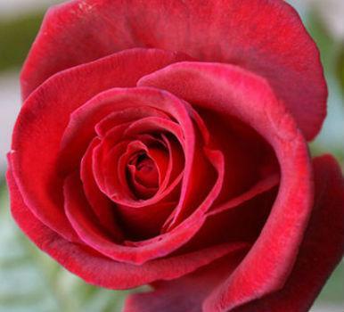 роза Grafin Diana