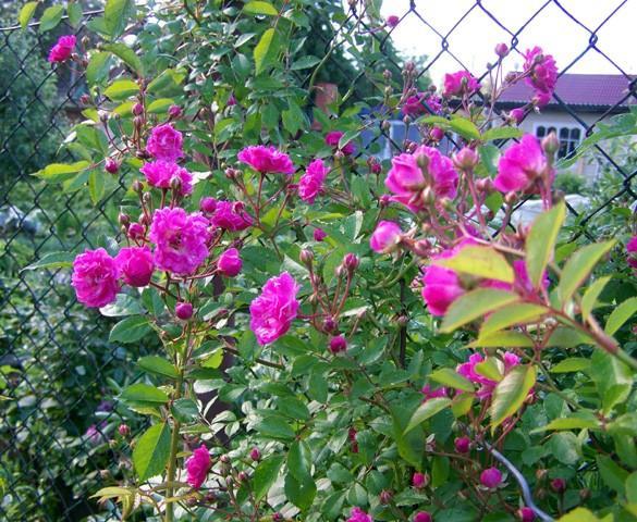 роза Wartnurg