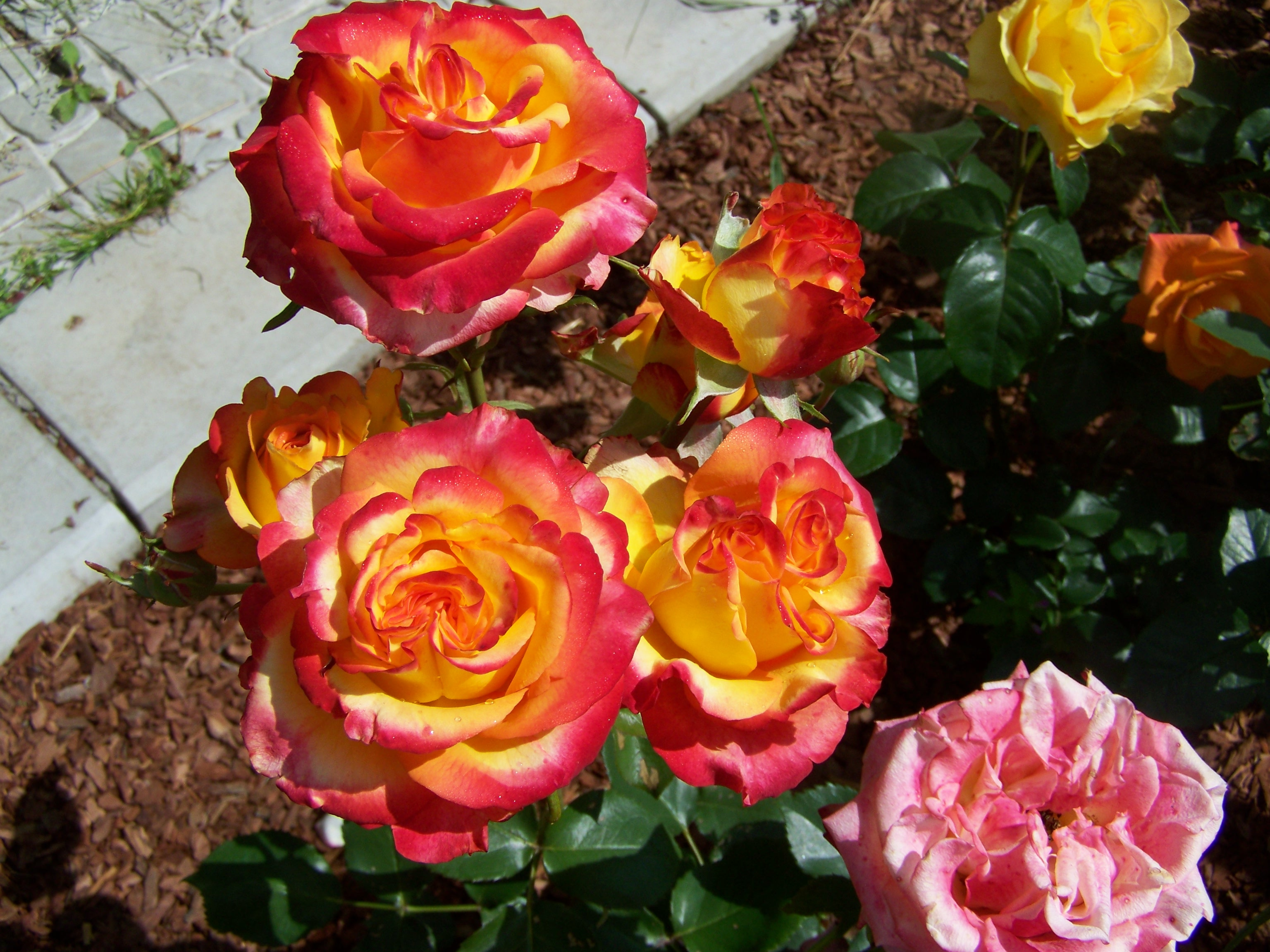 Роза High Society