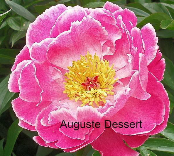 Auguste Dessert