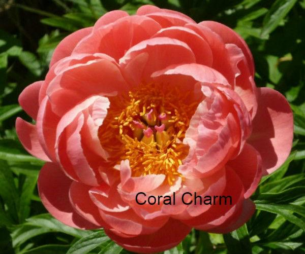 Coral Charm