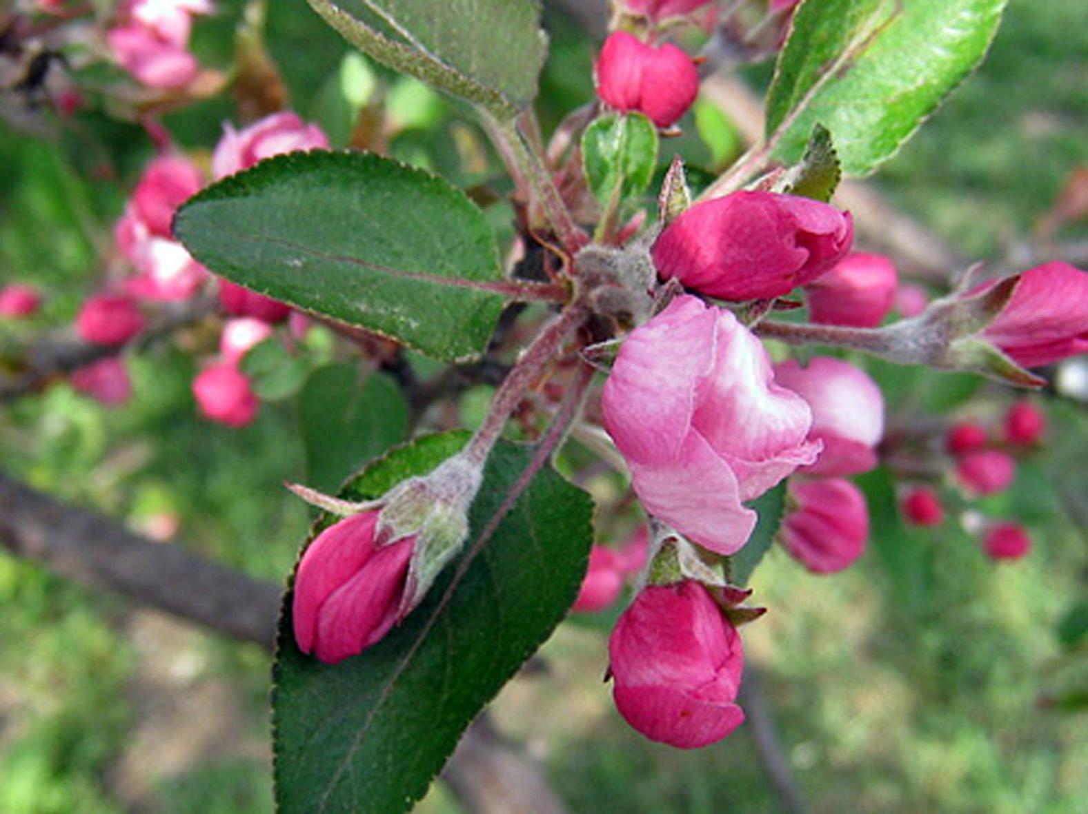 яблоня цветет8