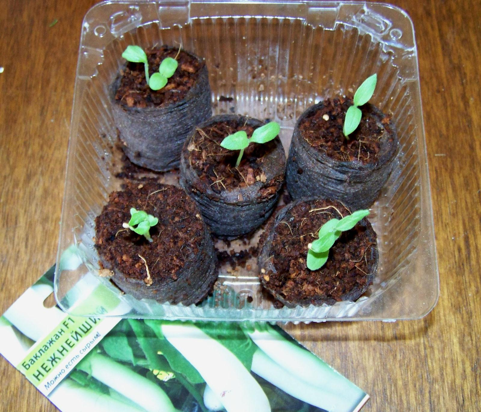Кохия выращивание из семян - описание когда сажать и как 98