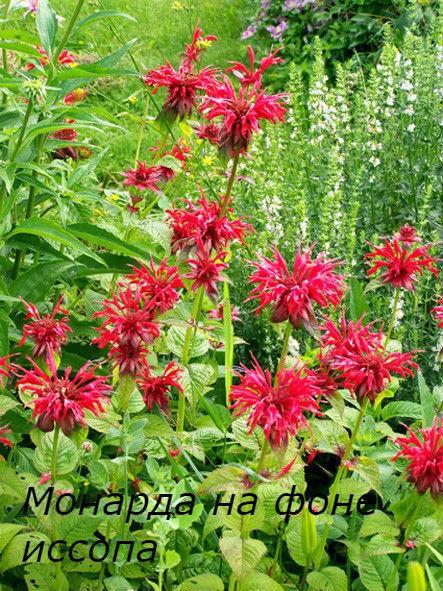 монарда