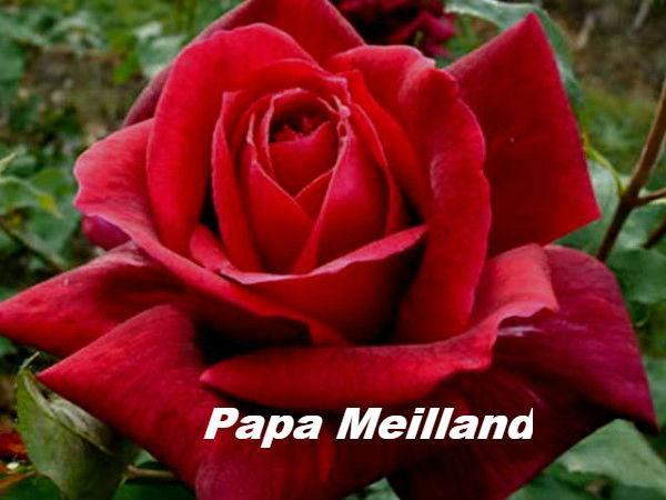 роза Papa Meilland