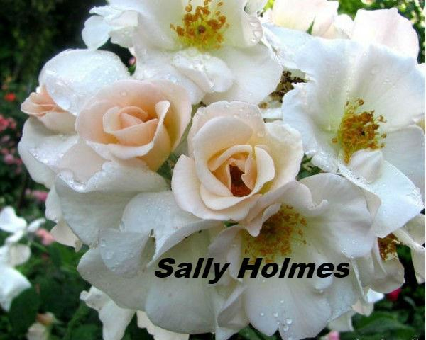роща Sally Holmes