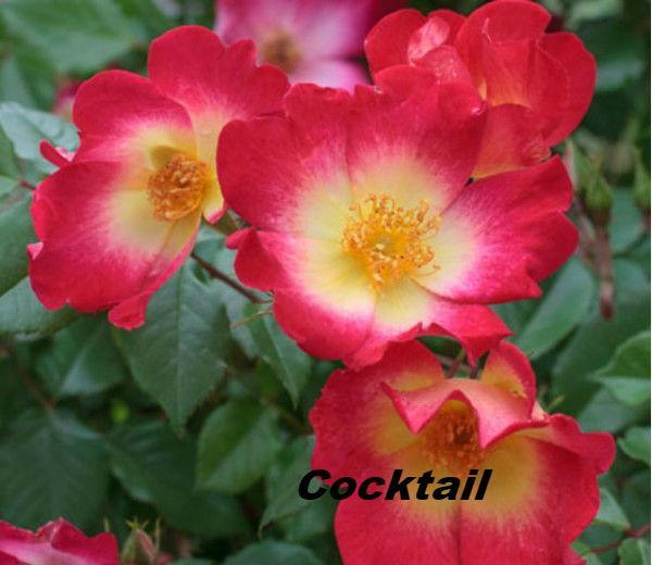 роза Cocktail