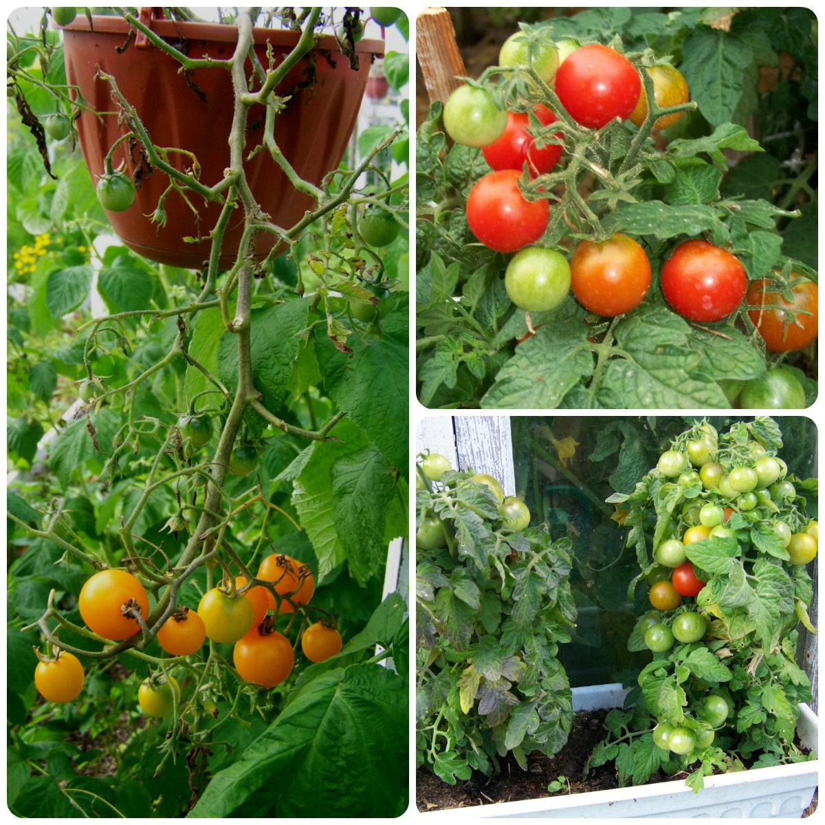 Самые вкусные помидоры сорта - полный перечень сортов