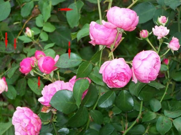 О лечении роз