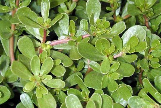 Портулак овощной / Portulaca oleraceae