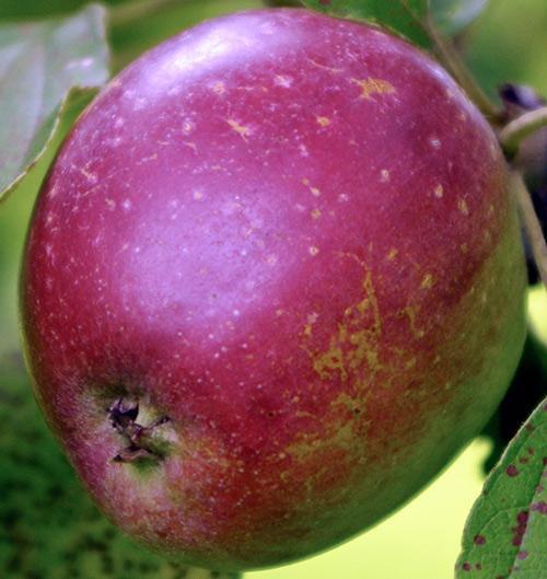 Коваленковское яблоко