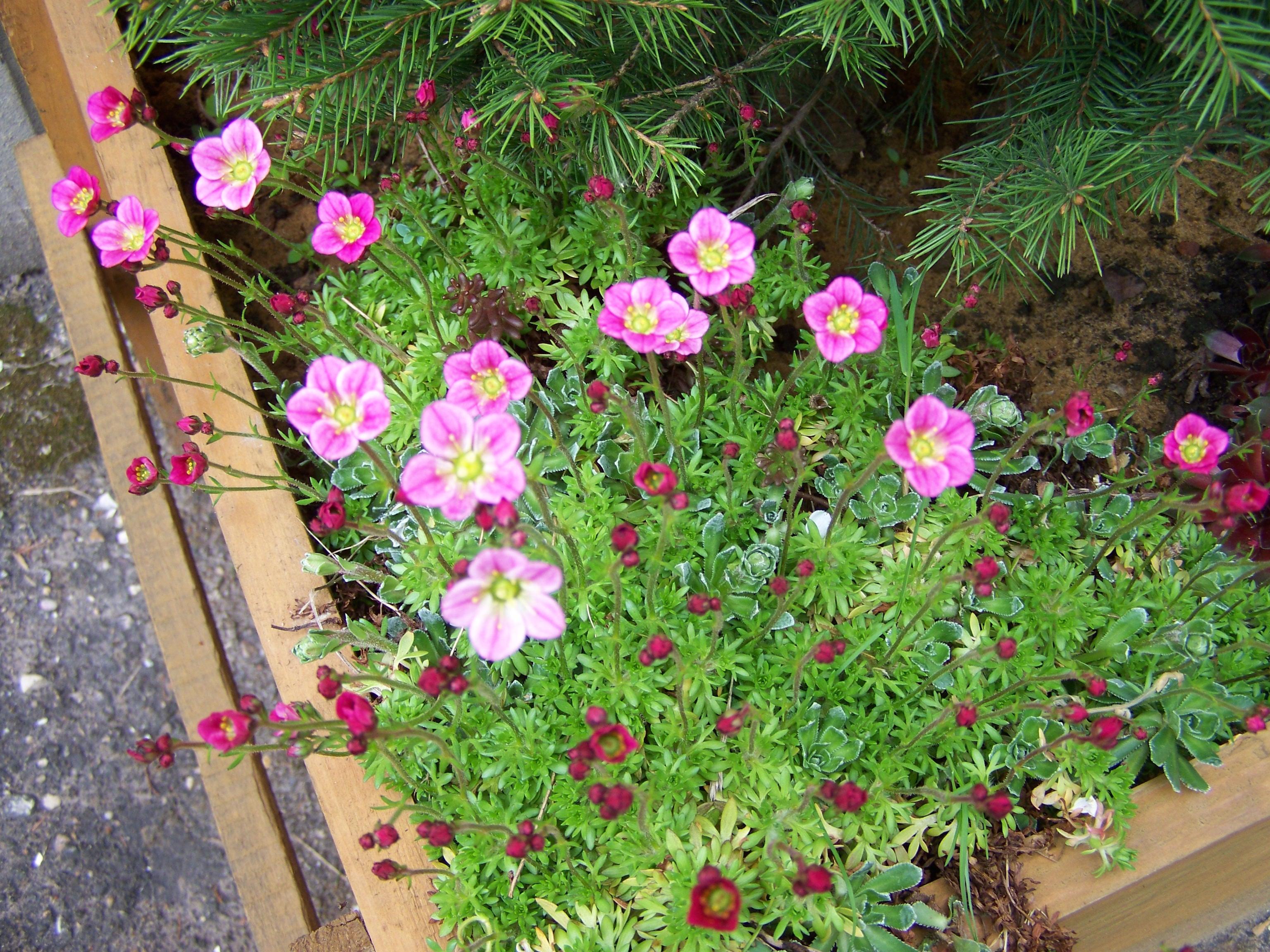 Камнеломка: драгоценный бисер сада