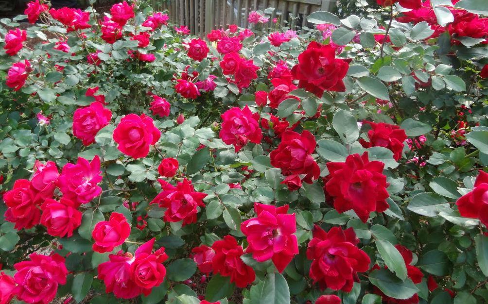 Knock Out® - идеальная роза