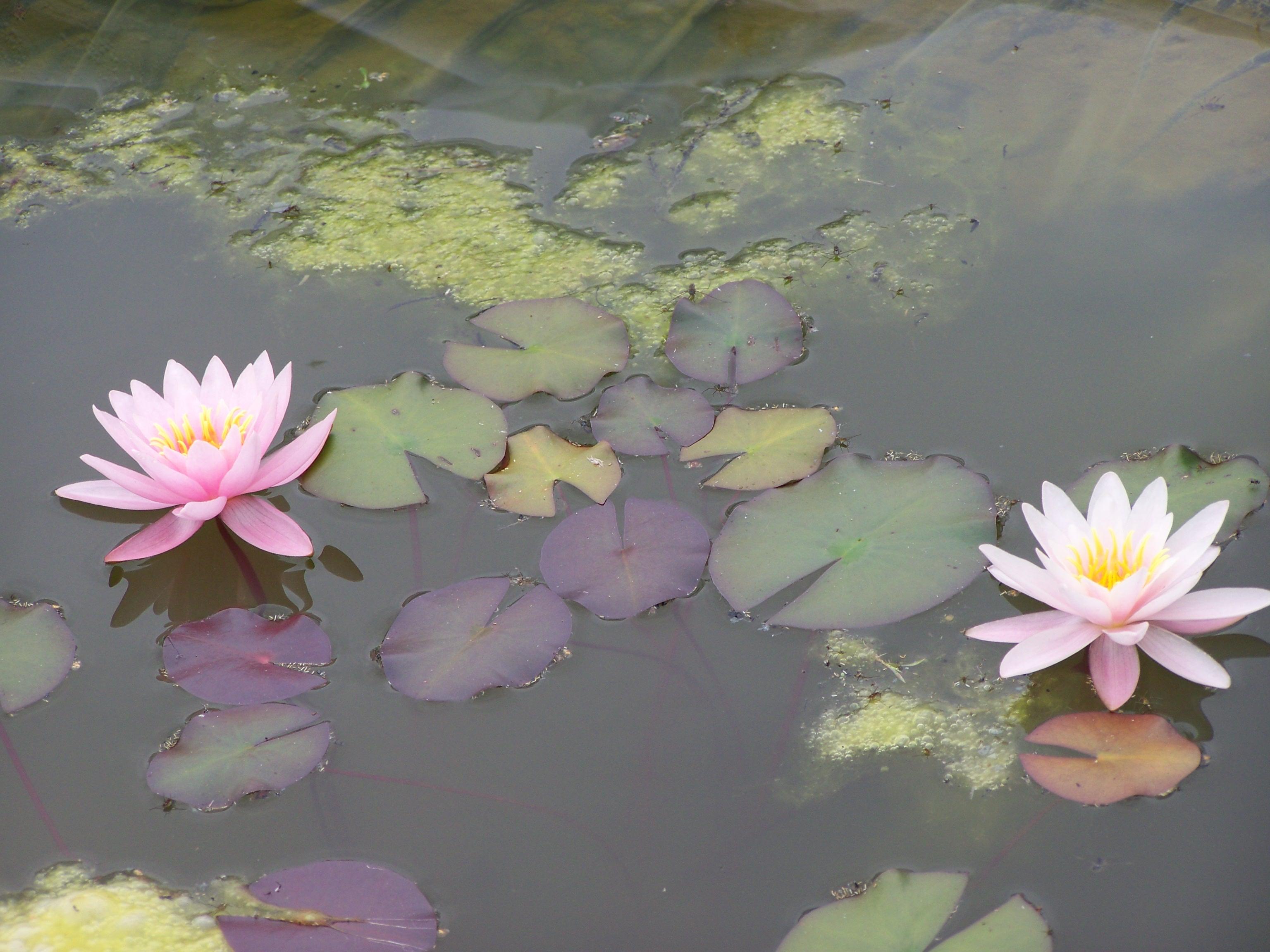 Водные растения: замерзнет ли эта красота?