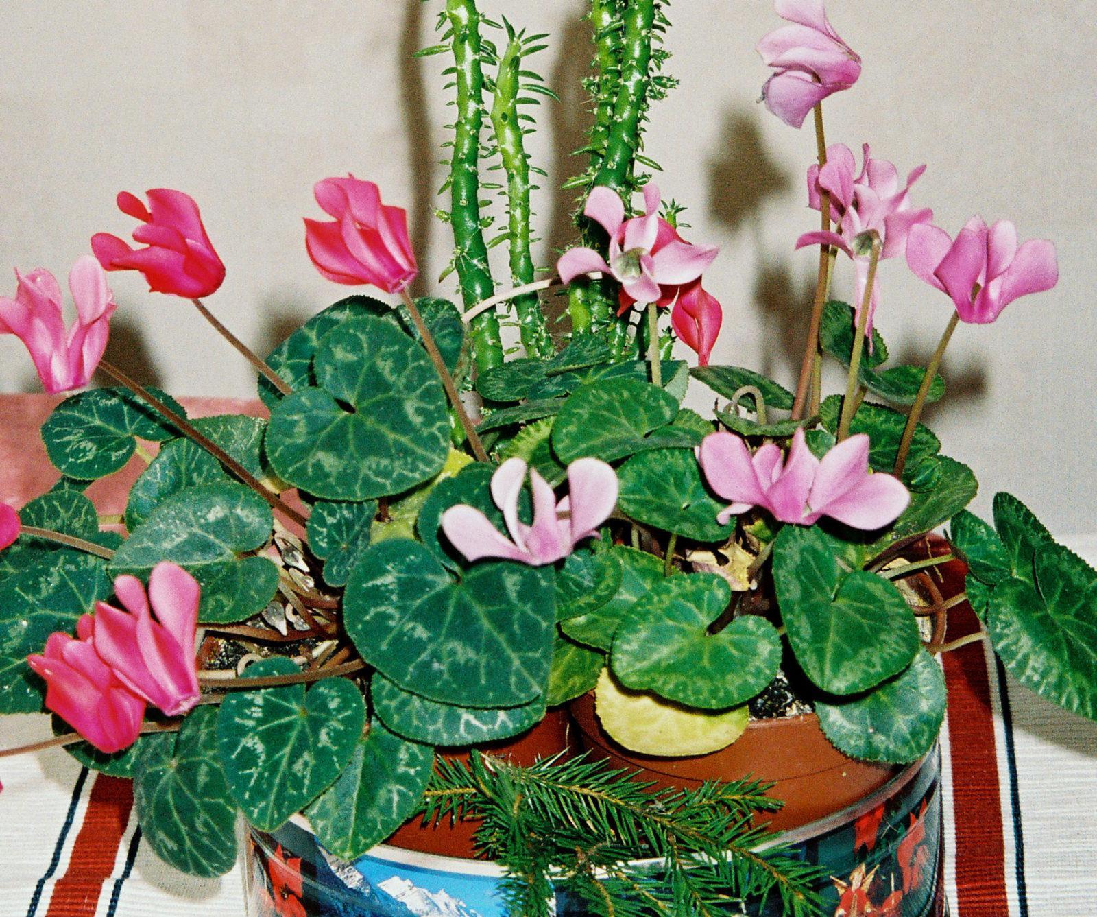 ЦИКЛАМЕН: цветок и лекарство