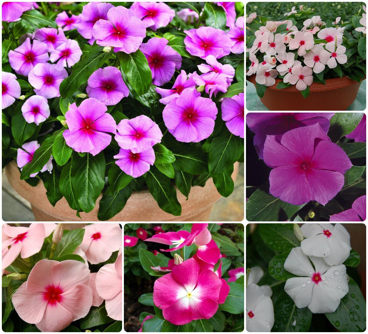 Катарантус – барвинок розовый