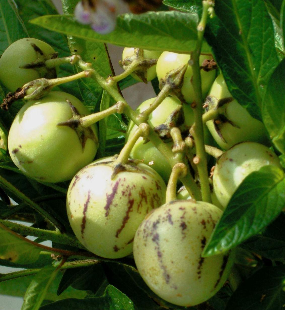 ПЕПИНО / Solanum muricatum