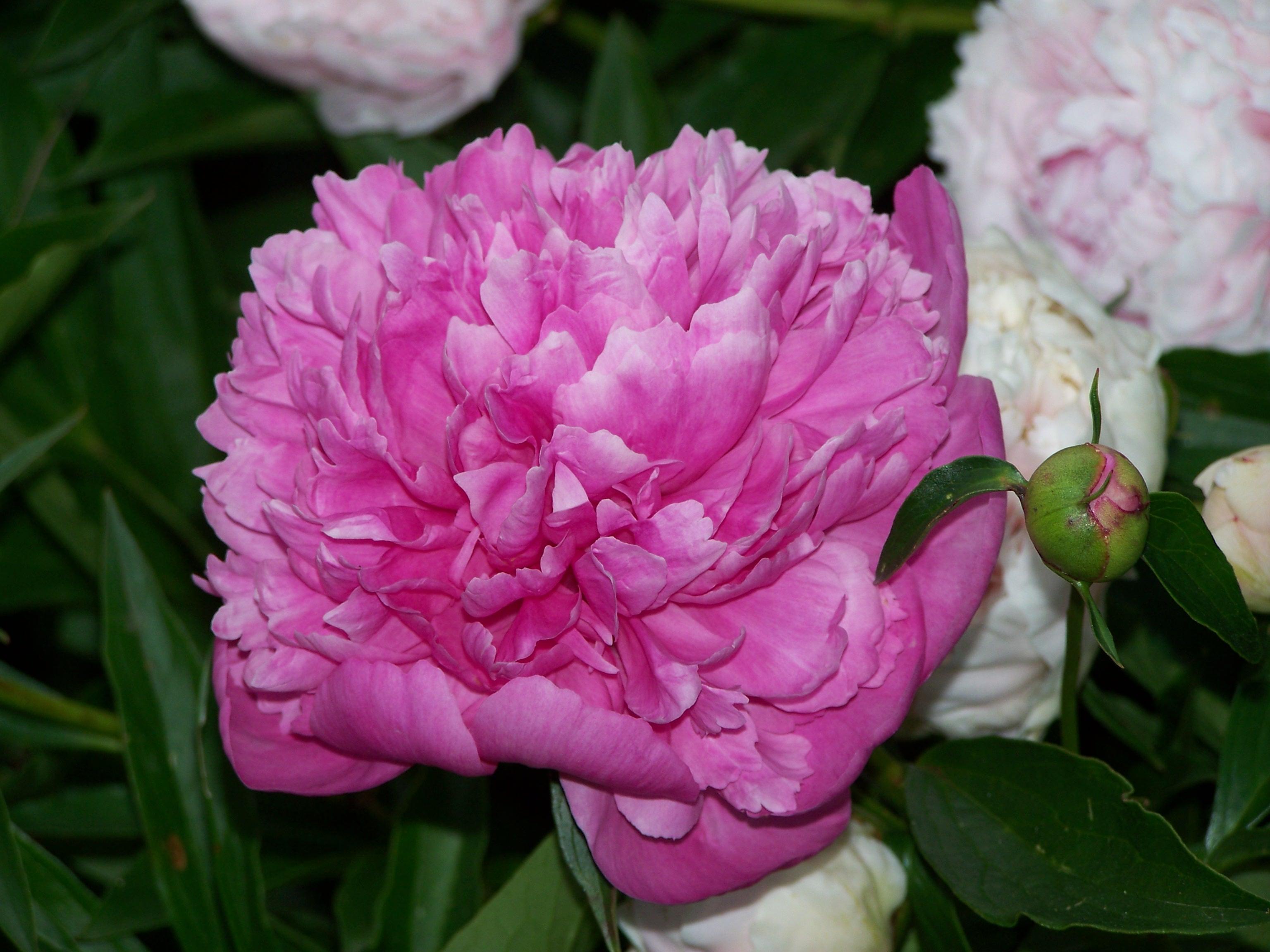 4 секрета пышного цветения пионов