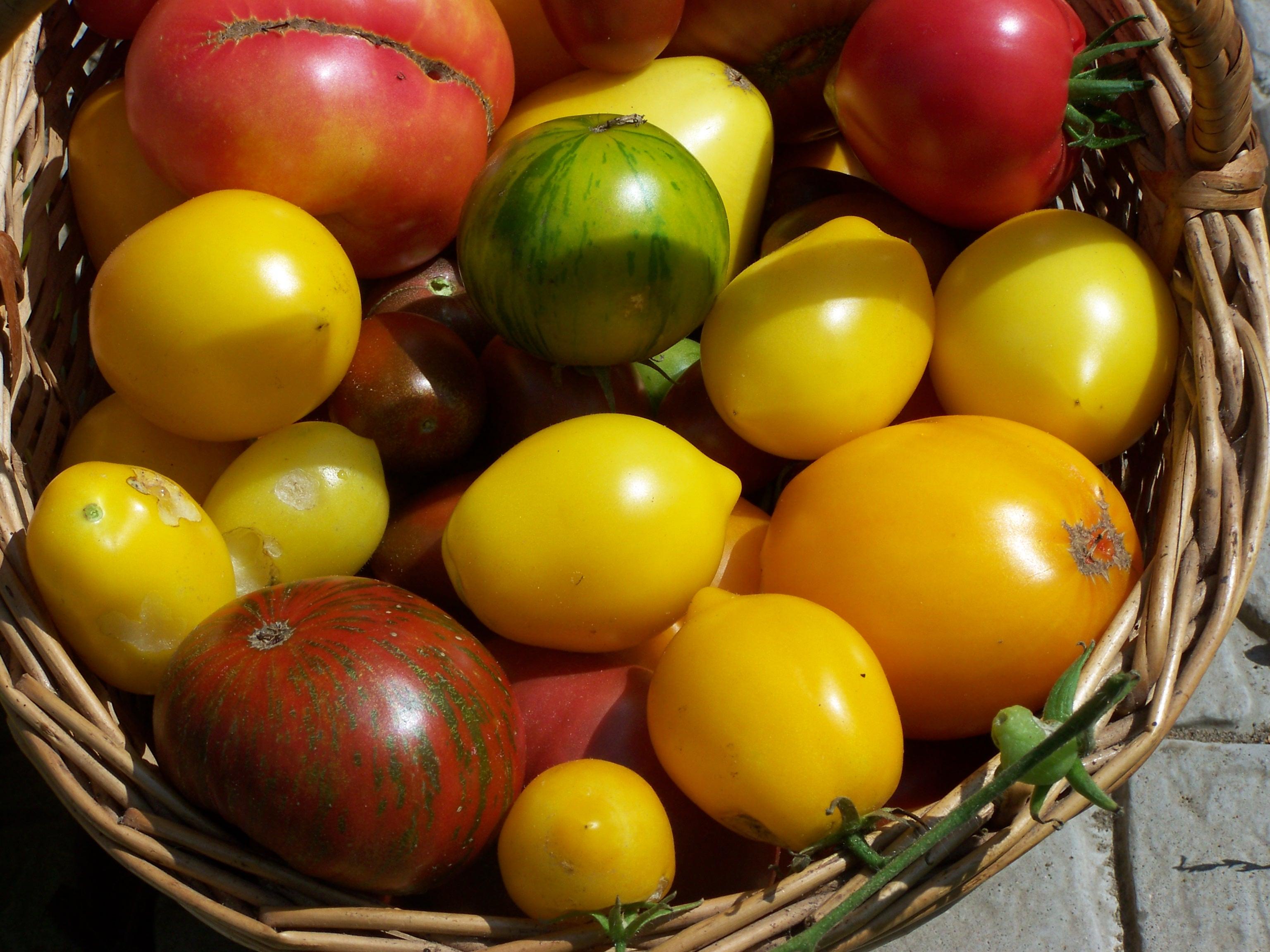 Томаты: как сохранить урожай