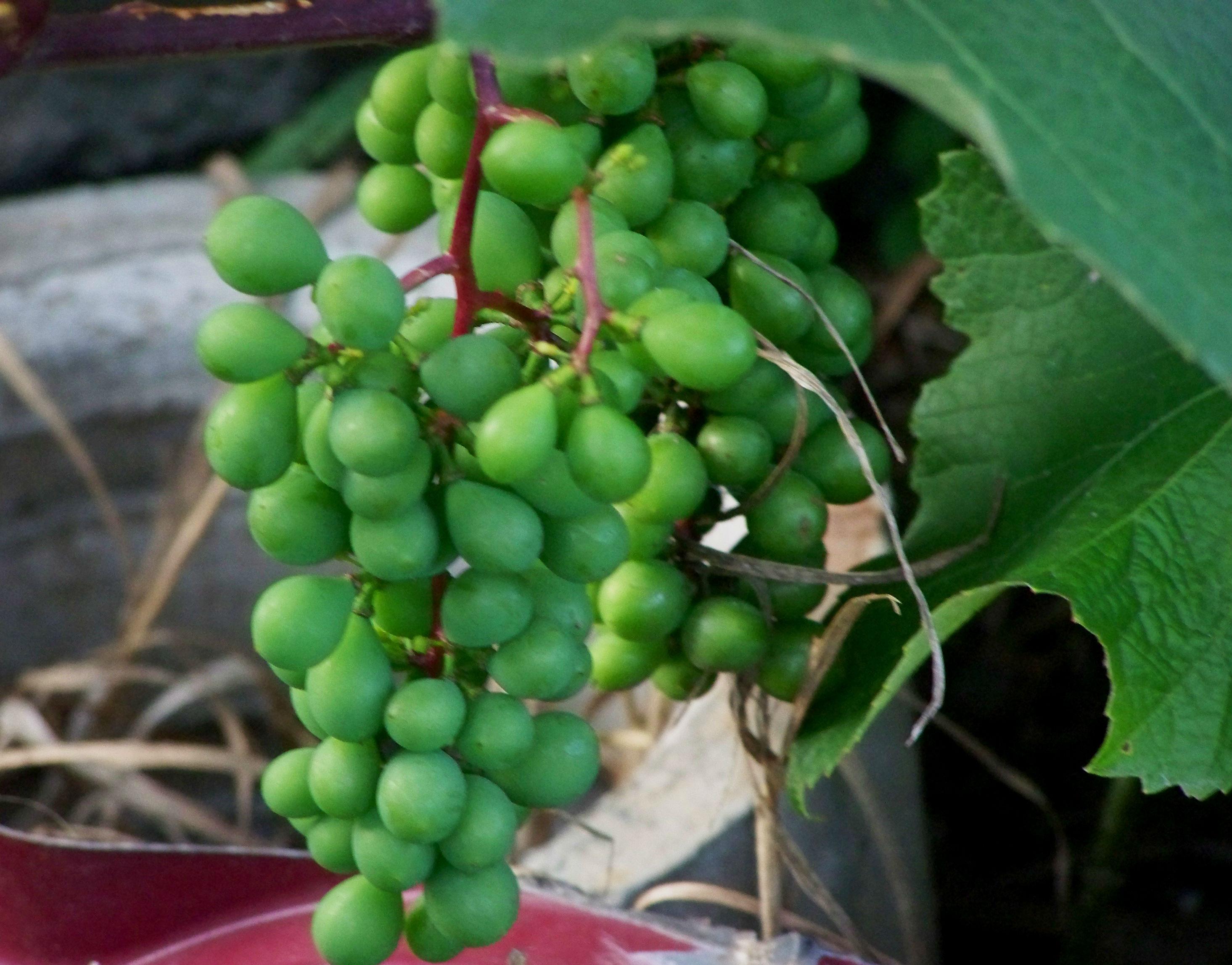 Русбол – виноград для холодного климата