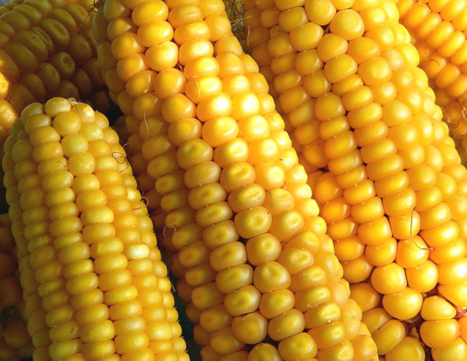 Кукуруза: пища бедняков и гурманов