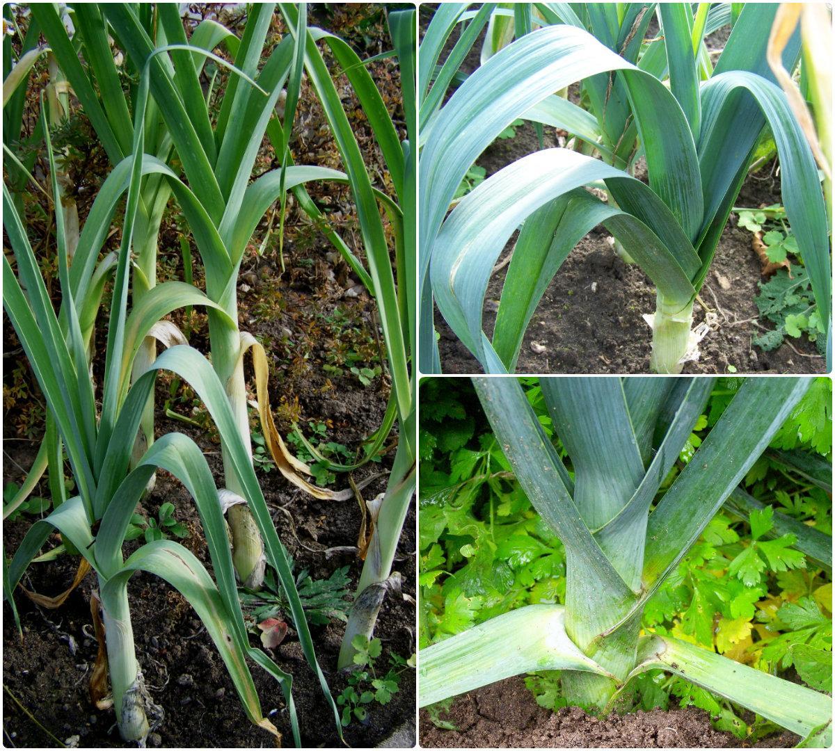 Лук-порей / Allium porrum