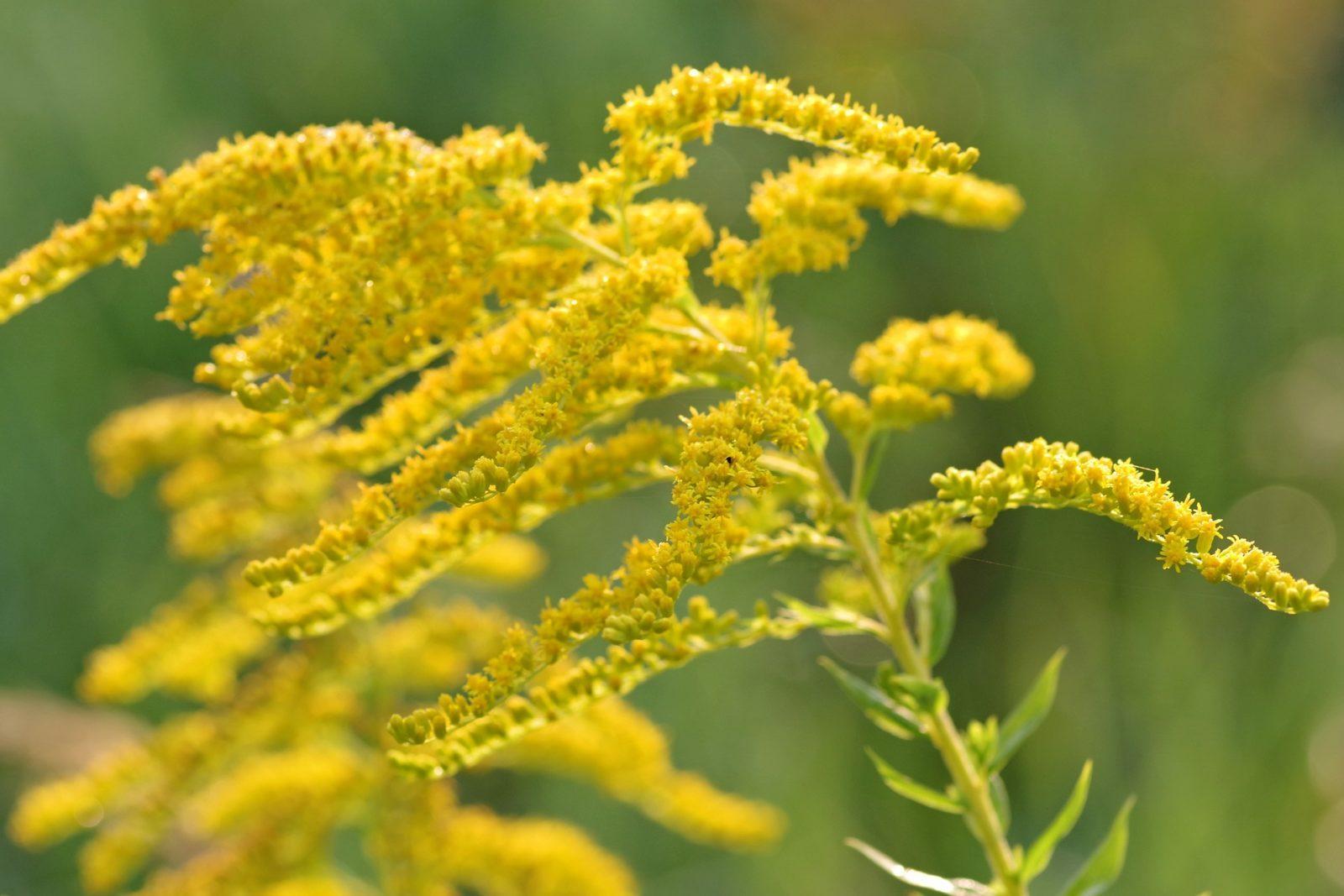 Опасные растения: золотарник
