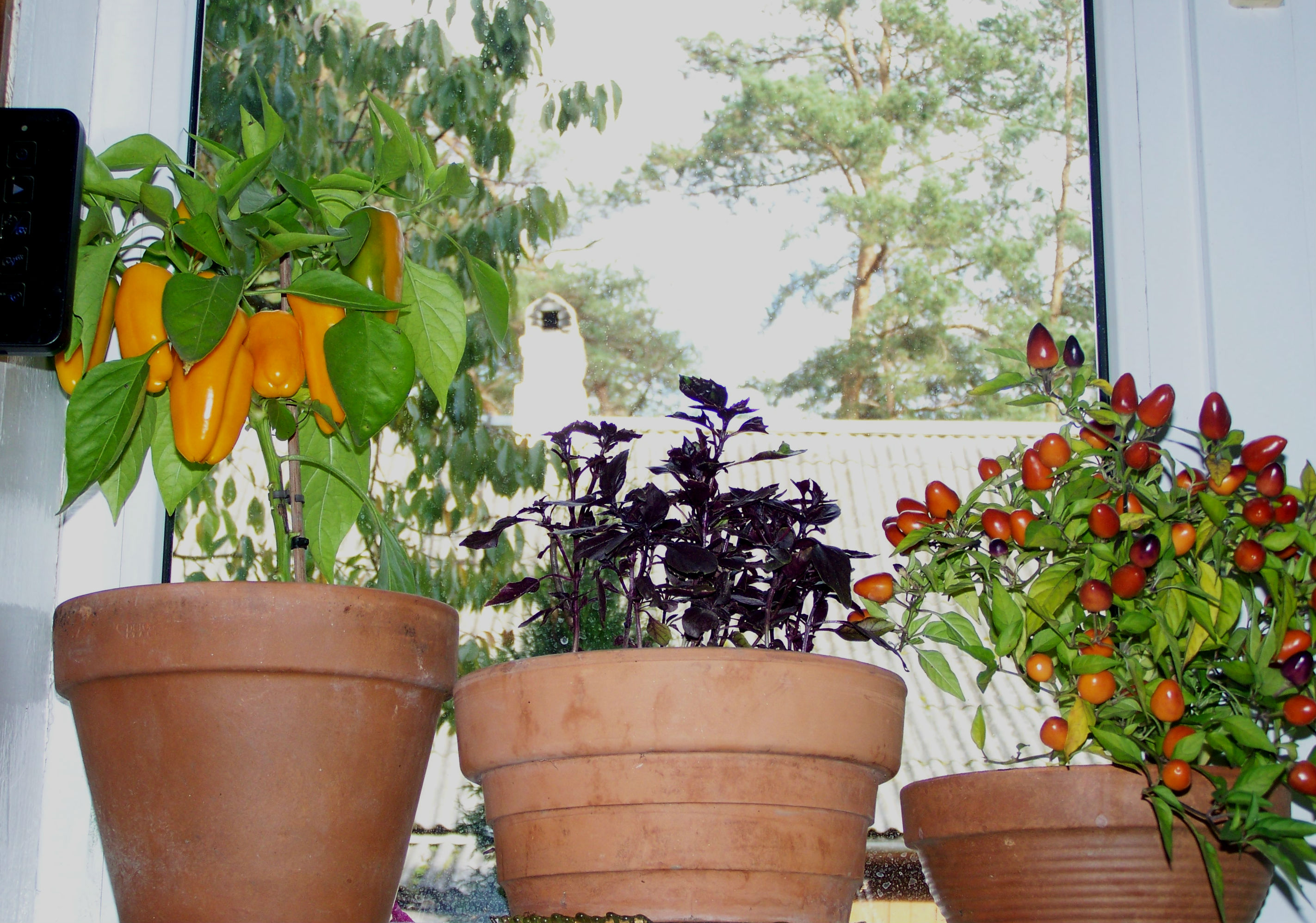 Мини-огород или своя зелень к новогоднему столу