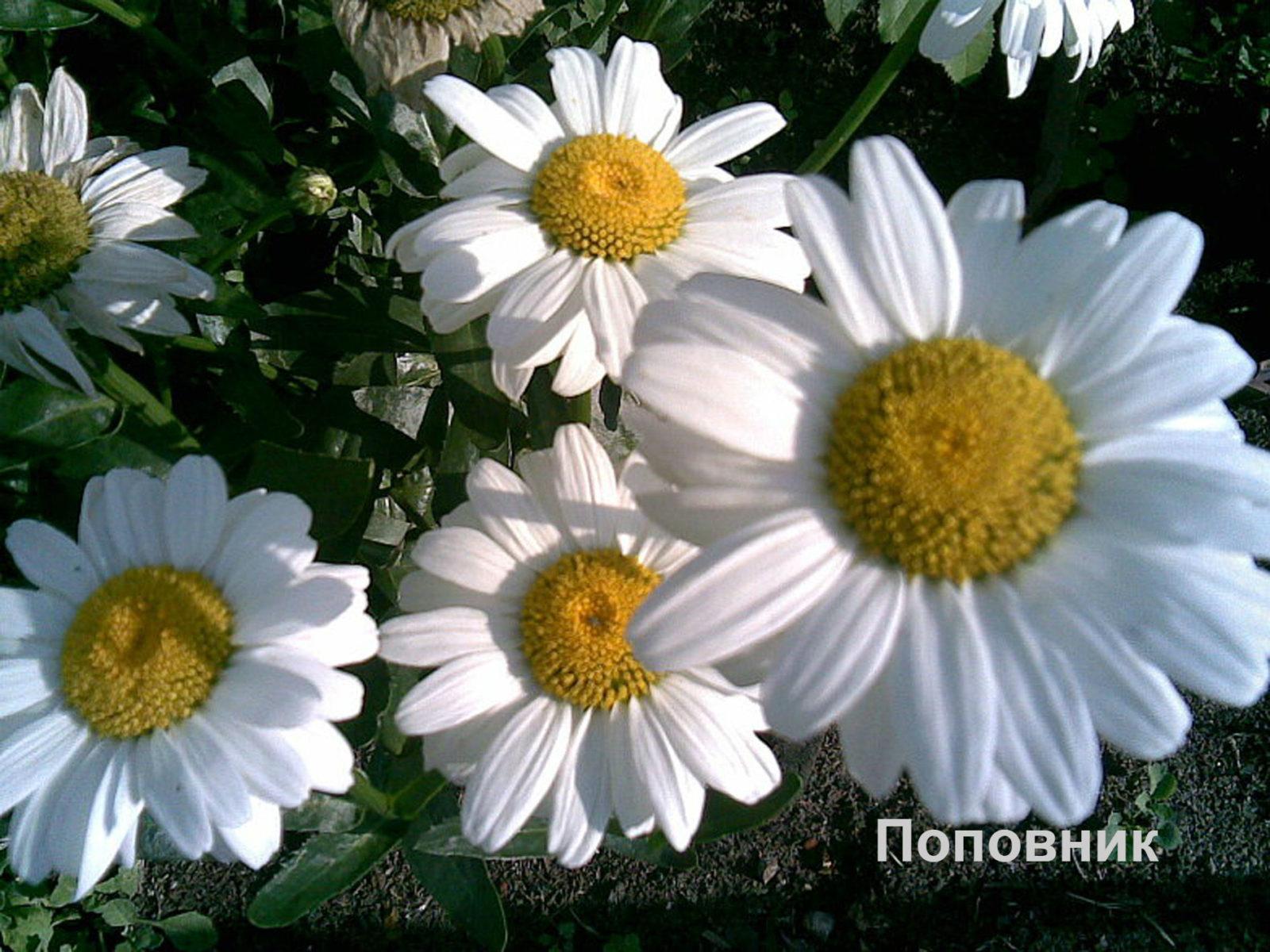 Ромашки для сада: такие разные цветы