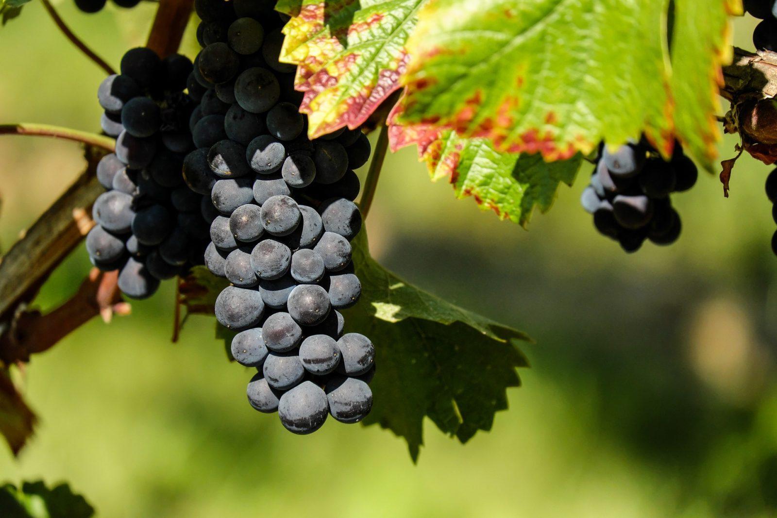 Виноград амурский: вкусный и целебный