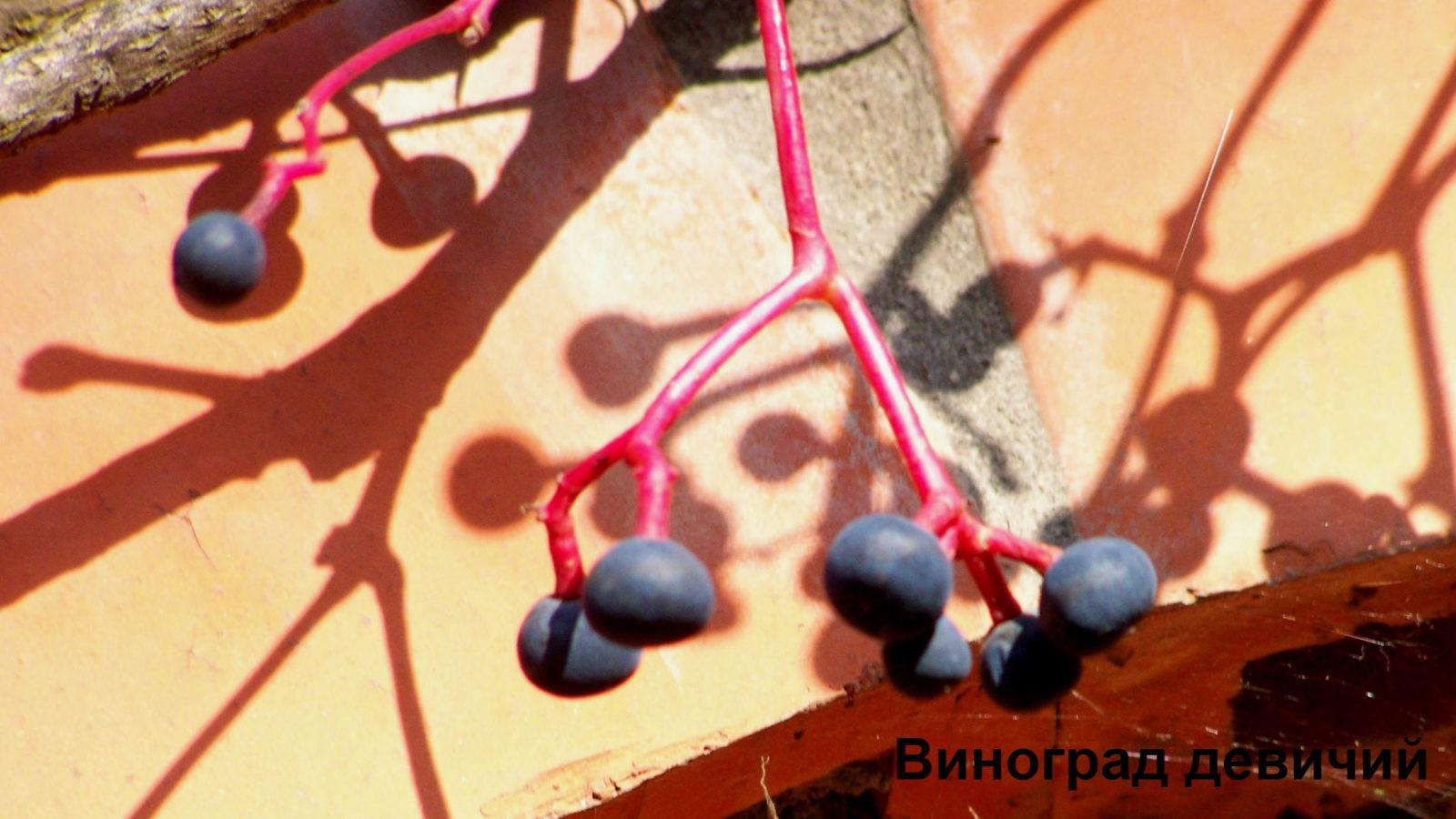 Декоративные плоды