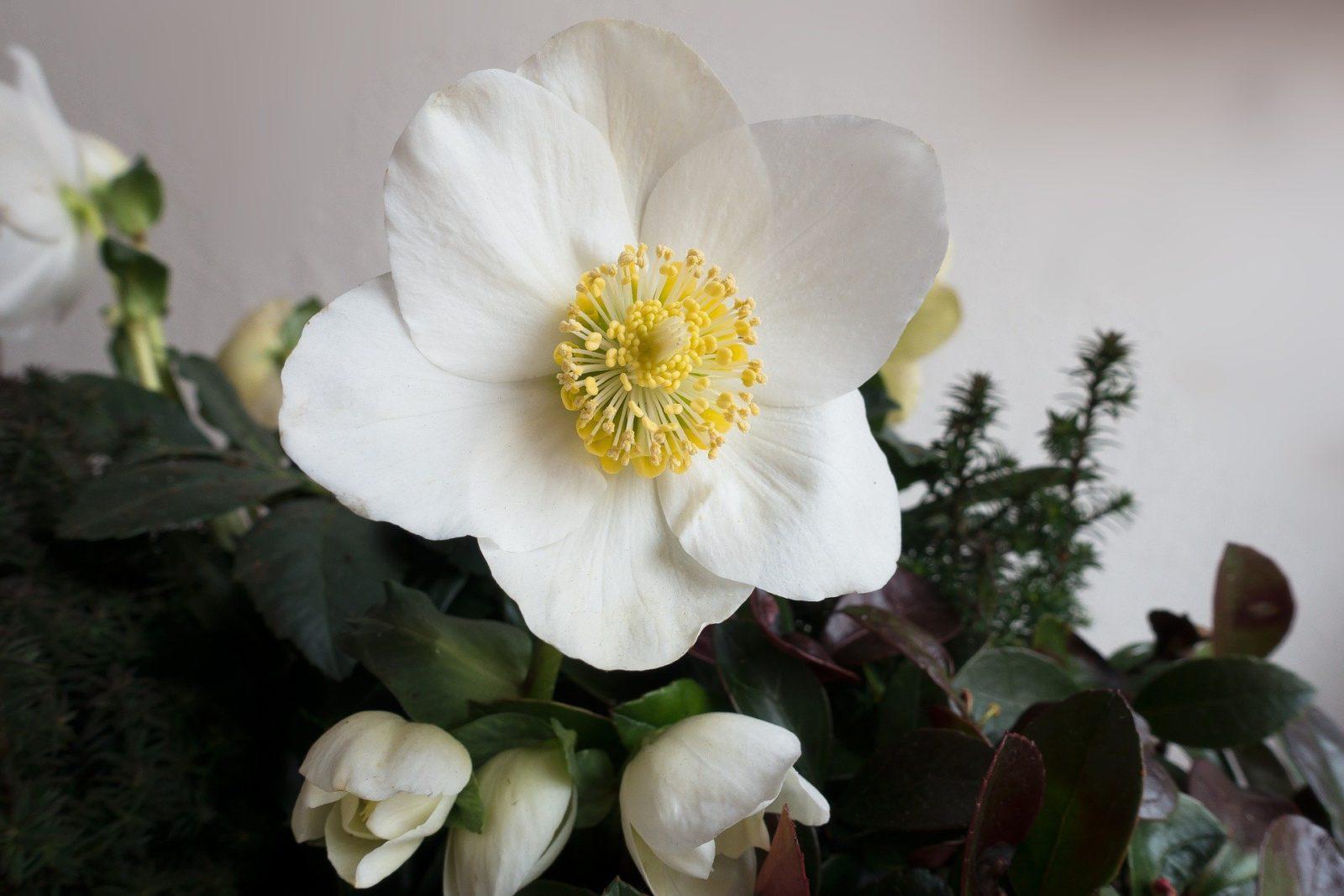 Рождественские цветы: морозник