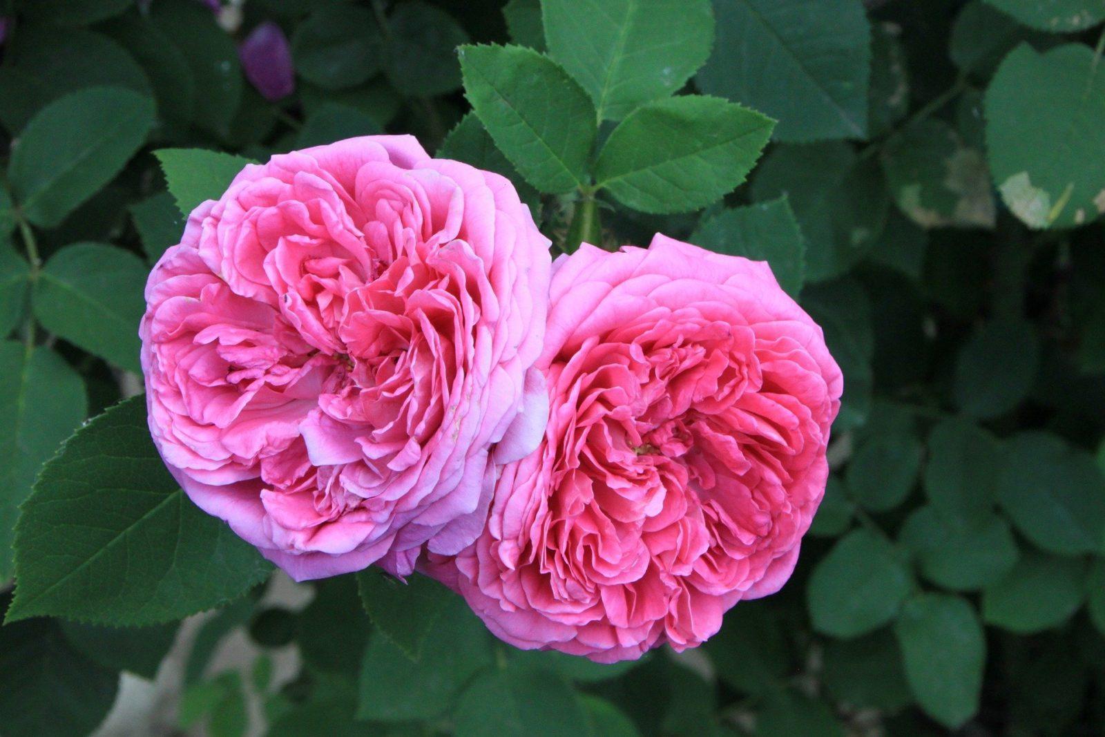 Роза Дамаска