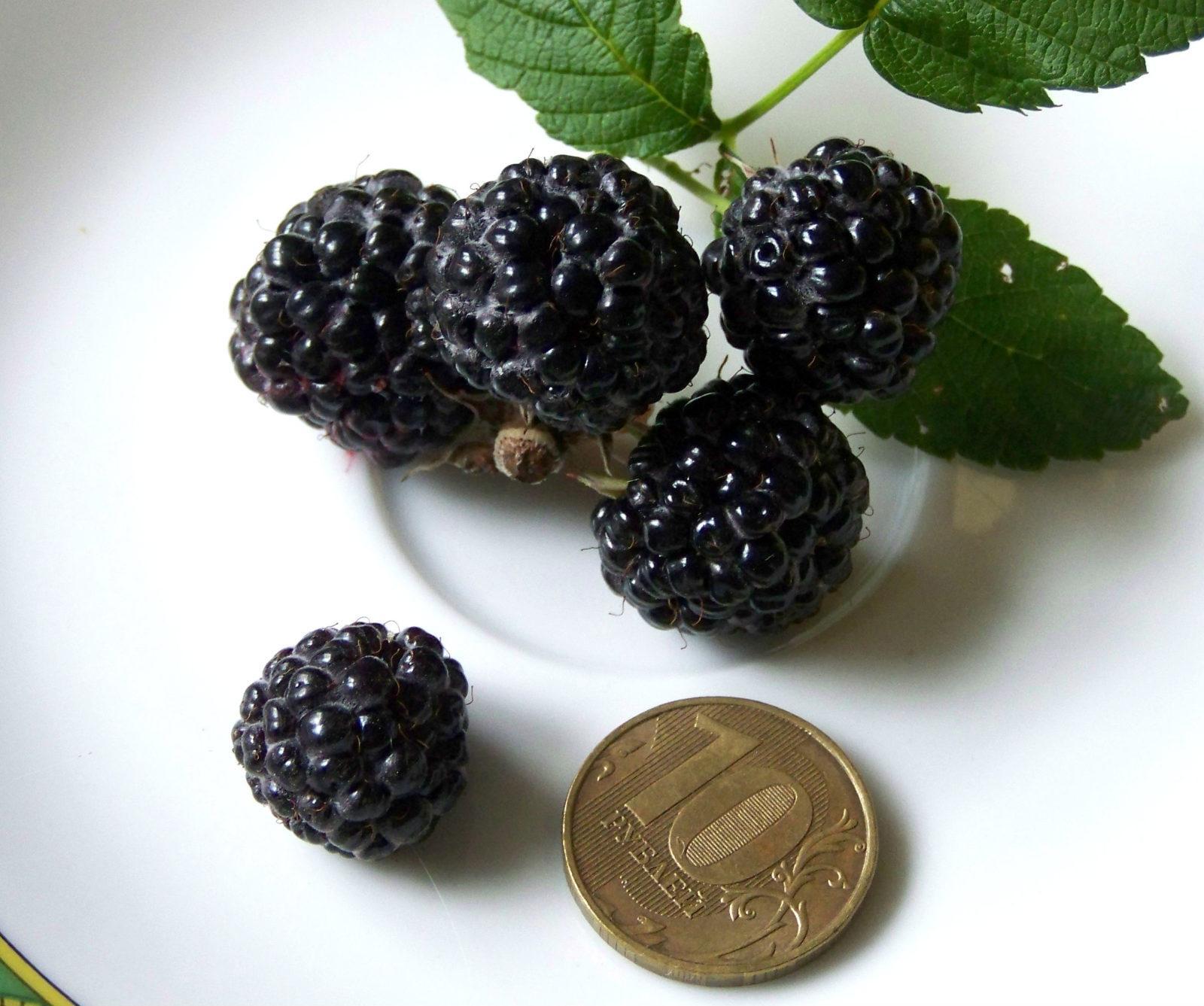 Малина Black Jewel