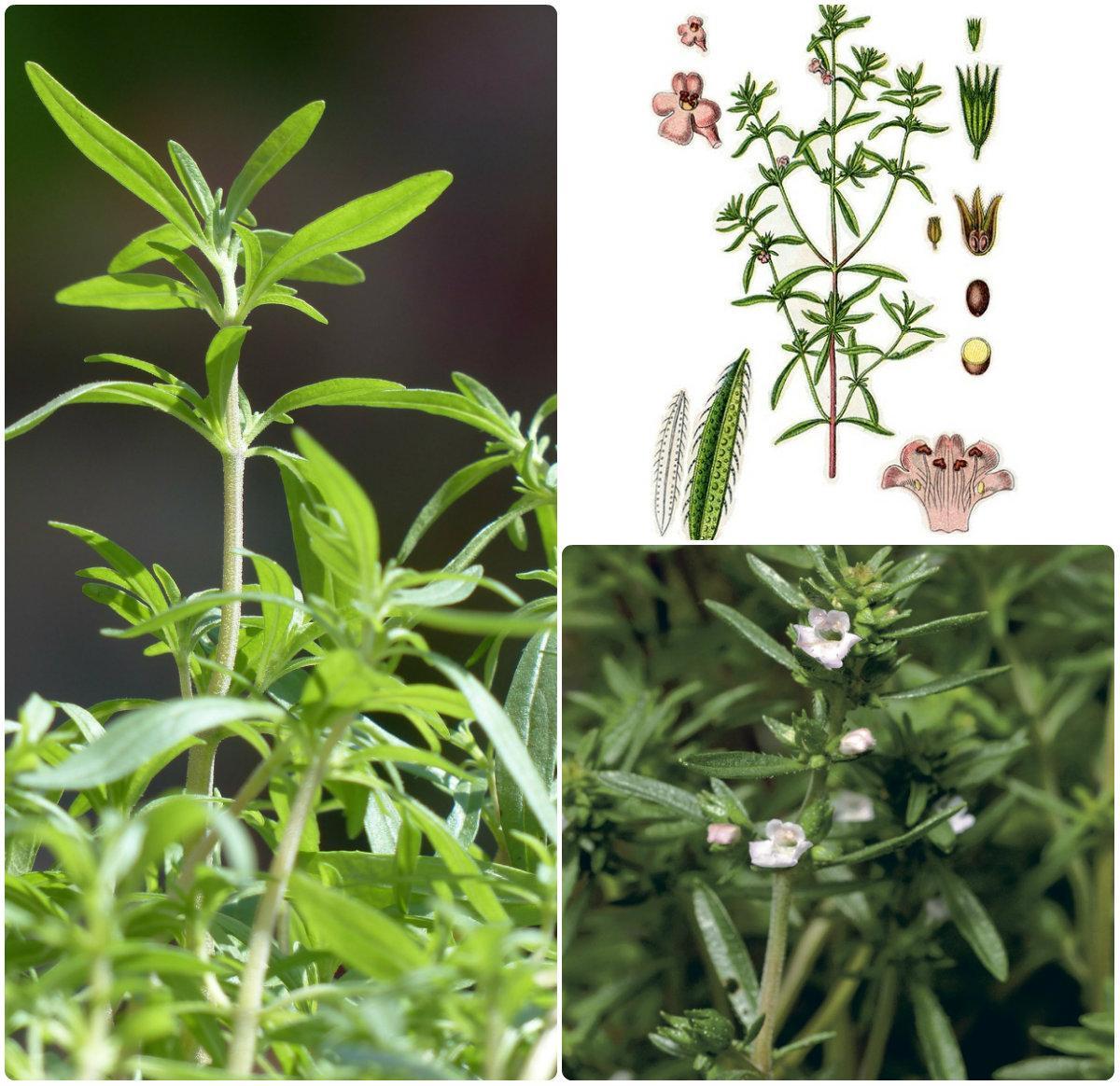 ЧАБЕР / Satureja hortensis