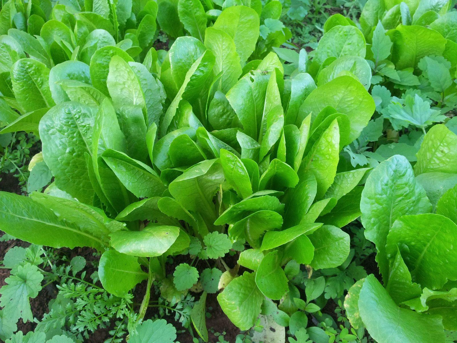 Цикорный салат: оценит гурман
