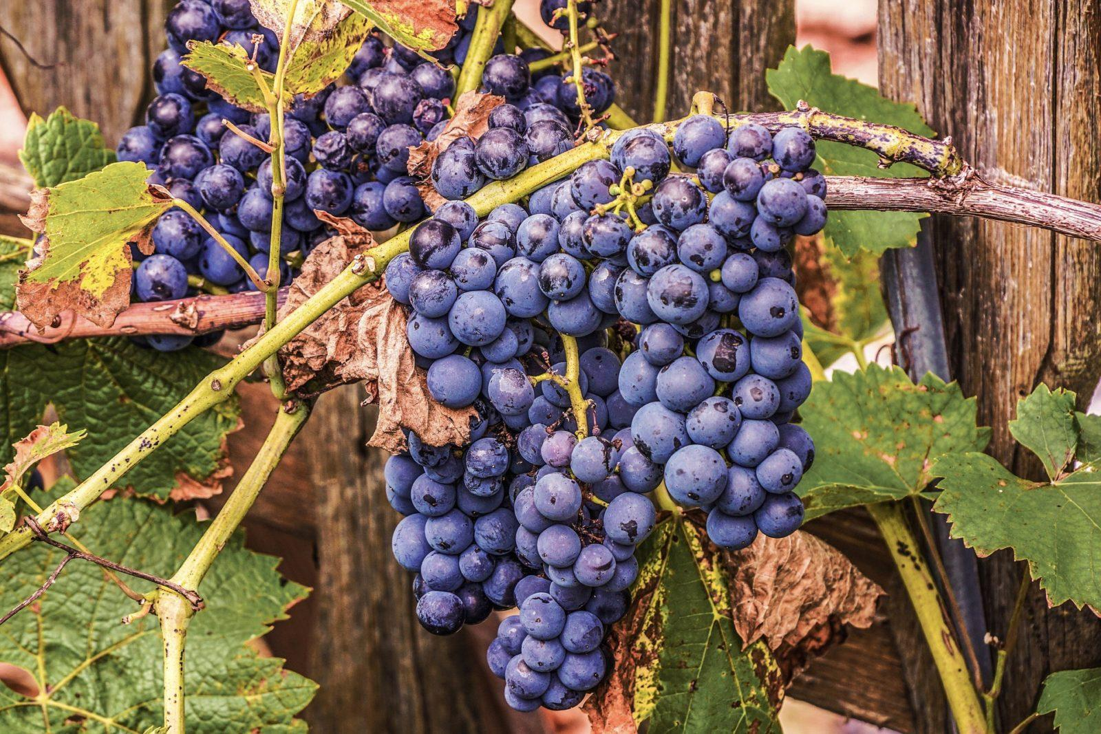 Виноград: саженцы из черенка