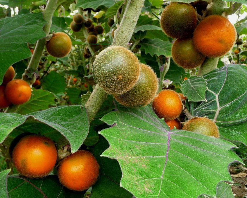 Луло: это плод паслена китоского