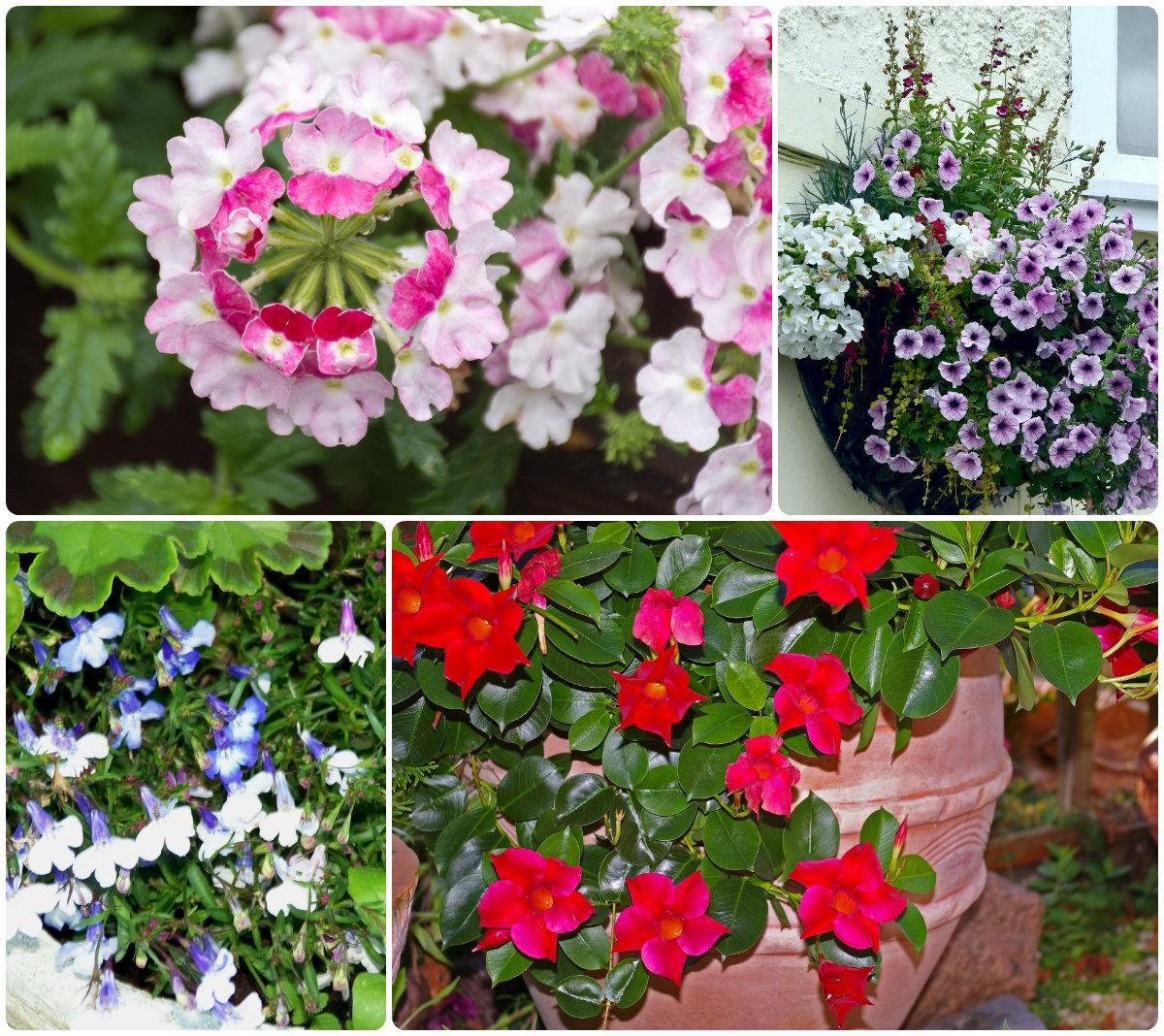 Цветы для балкона и террасы