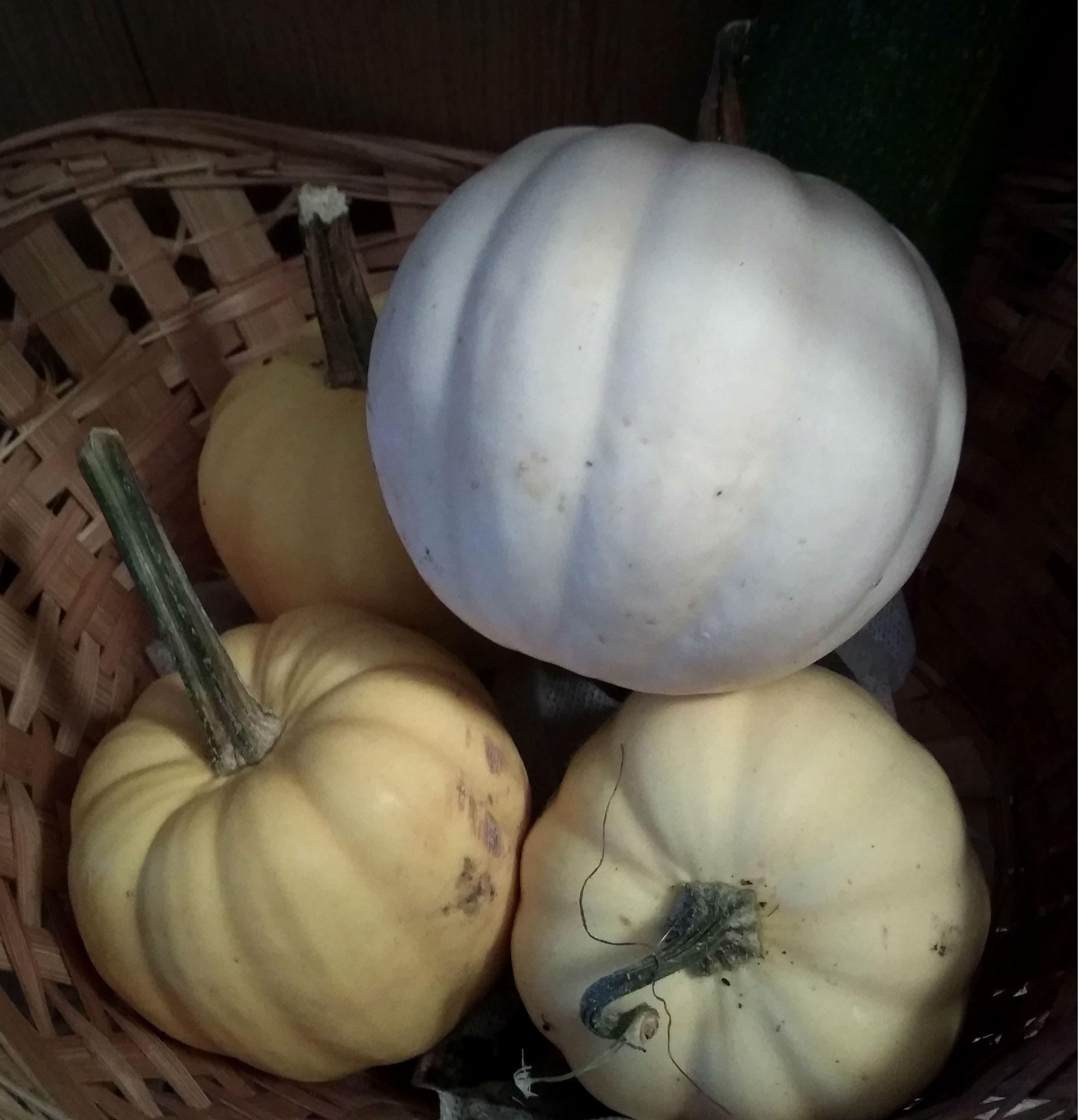 Акорн белый - картофельная тыква