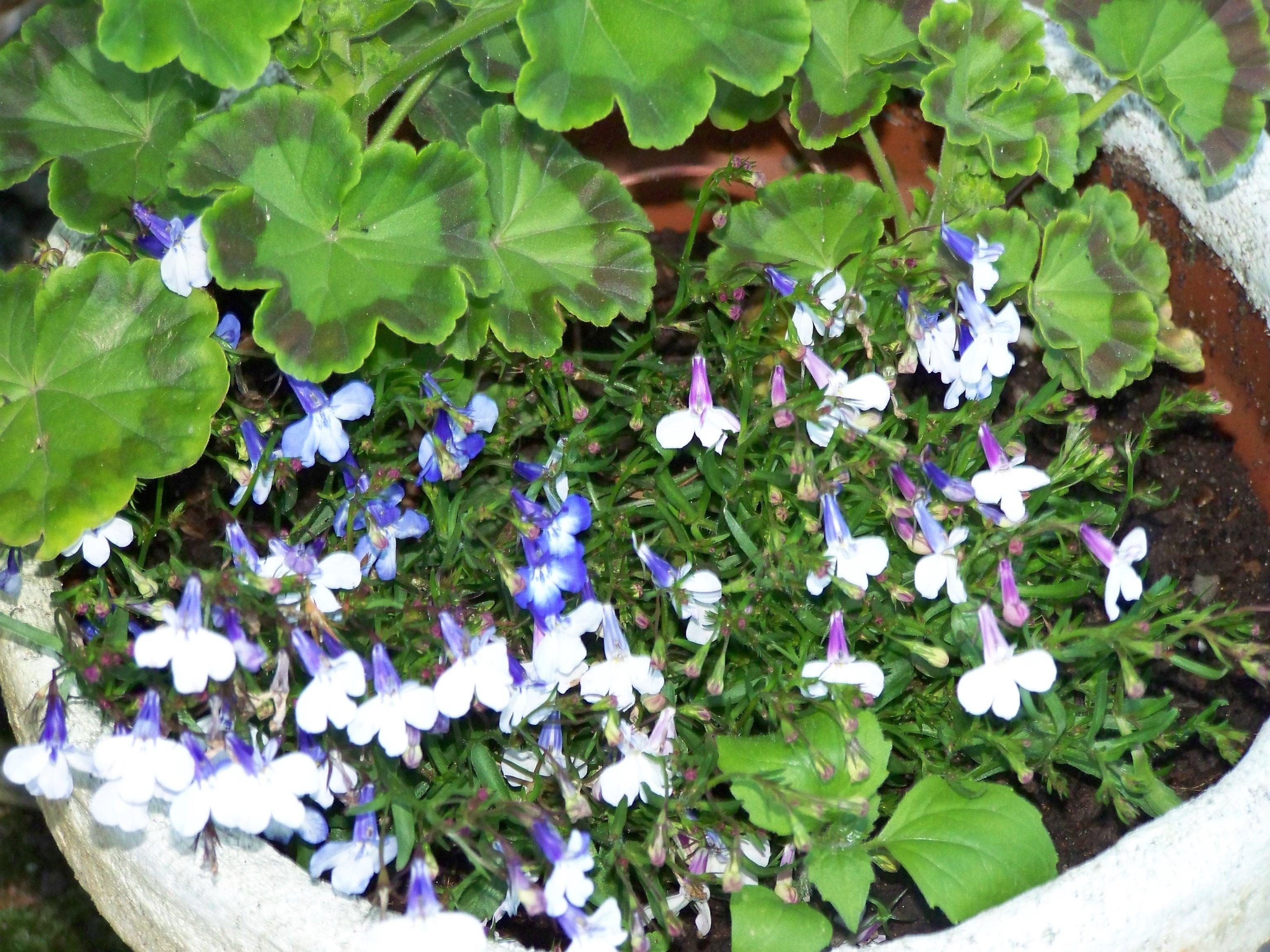 Лобелия: синяя пена летнего дня
