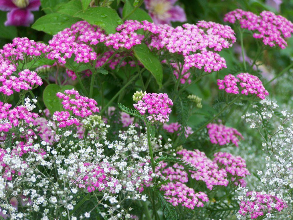 Тысячелистник: цветы Ахилла