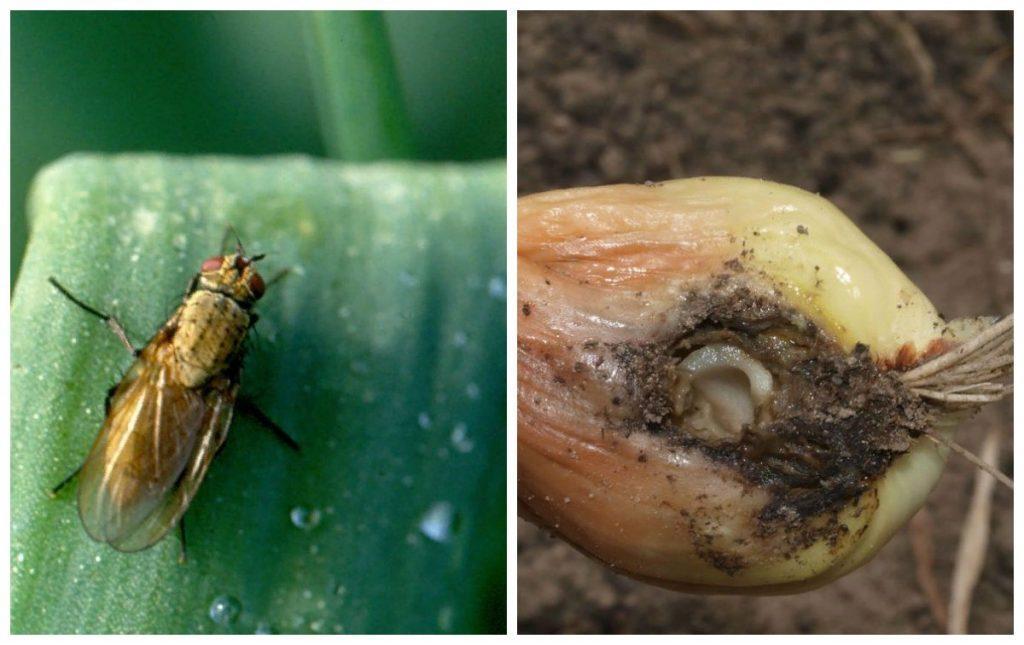 Как защитить лук от луковой мухи