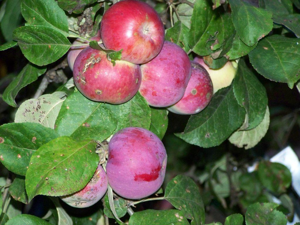Август: работы в плодовом саду