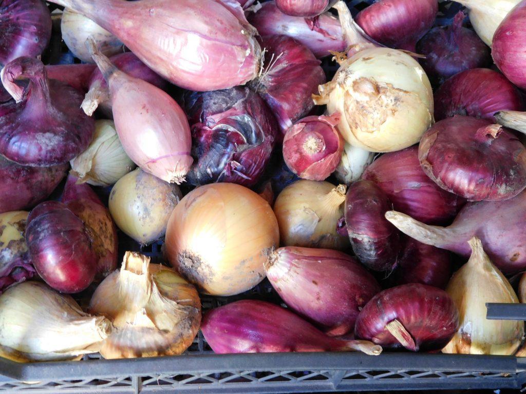 Севок лука для весны: лучшие сорта