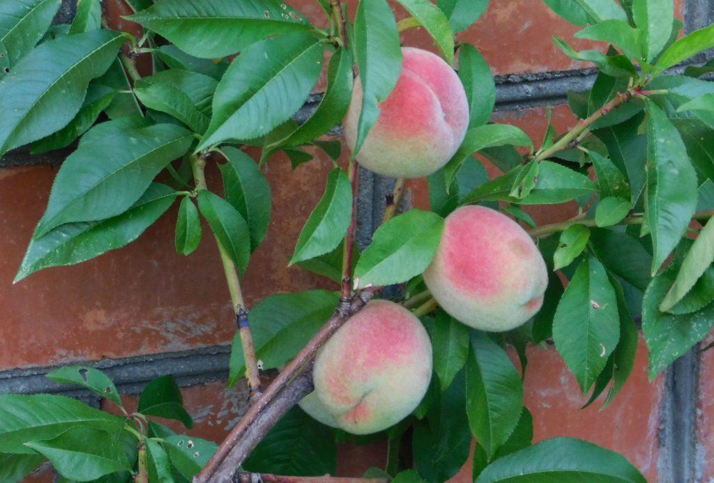 Переживет ли персик суровую зиму